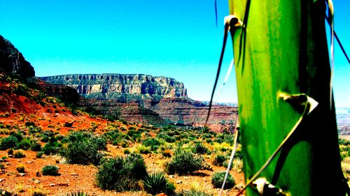Canyon Cactus